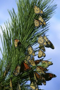 monarch-butterflies-86594_640